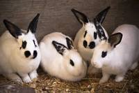Batch Of Bunnies