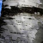 """Textures in Birches 3"" by scenesbyjd"