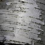 """Textures in Birches 5"" by scenesbyjd"
