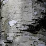 """Textures in Birch 1"" by scenesbyjd"