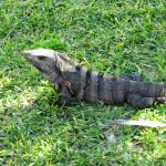 """Iguana in the grass"" by tgorman6470"