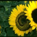"""Sunflower"" by blackburnimage"