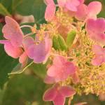 """""""Hydrangea"""" by Wendy_Ferguson"""