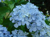 Nature Landscape Blue Hydrangea Flowers art