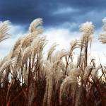 """Grasses In The Wind"" by patio127"