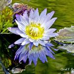 """Purple Water Lily Inspired by Monet"" by PhotographsByCarolFAustin"