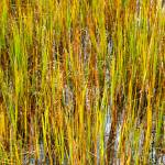 """Marsh Grass, Chincoteague"" by ReimeiPhotography"