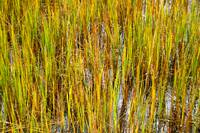 Marsh Grass, Chincoteague