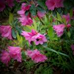 """""""pink flowers with bumble bee 2"""" by imagineit"""