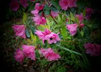 pink flowers with bumble bee 2