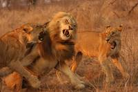 Lion Fight (3)