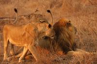 Lion Fight (2)