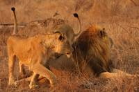 Lion Fight (1)