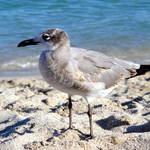 """Sand Piper"" by photophillic"