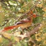 """American Cardinal"" by photophillic"