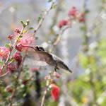 """Hummingbird"" by photophillic"
