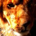 """""""The Lion"""