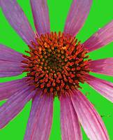 Coneflower on Green