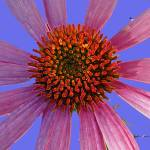 """Coneflower on Lavender"" by Wendy_Ferguson"