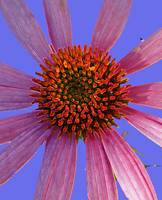 Coneflower on Lavender