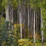 """Fall Aspens"" by PaulGaitherPhotography"