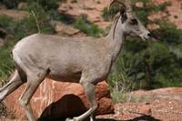 Big Horn Sheep, Zion National Park