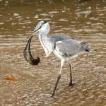 """Blue Heron scores a big fish"" by hiratadigital"