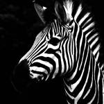 """Zebra"" by saycizz"