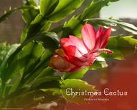 Christmas Cactus in Blossom