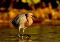 Reddish Egret on the Prowl