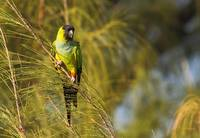 Black Hooded Parakeet
