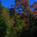 """Tall Autumn Maple IMG_4032"" by davies"