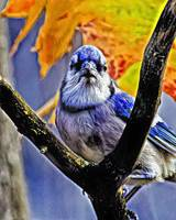 Blue Jay in the Tree.