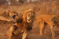 Lion Fight (4)