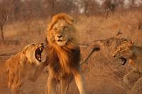 Lion Fight (7)