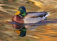 Just Another Mallard