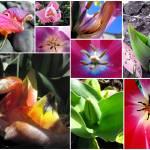 """tulipx 4x8"" by ladyrae966"