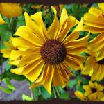 """Ohio Black Eyed Susans"" by jbjoani2"