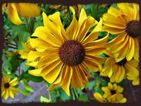 Ohio Black Eyed Susans