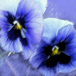 """blue pansies"" by pietrastone"