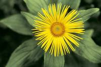 Large-Flowered Inula