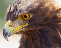 _53F3361 Golden Eagle