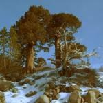 """""""Old Cedars"""" by kriegerk"""