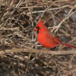 """cardinal"" by fostos"