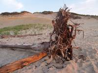 Uprooted tree driftwood