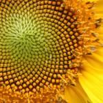 """sunflower"" by aimeesblog"