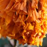 """another marigold picture"" by aimeesblog"