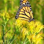 """Monarch Butterfly at Rest"" by maj"