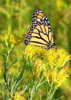 Monarch Butterfly at Rest