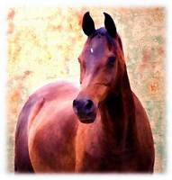 proud arabian mare